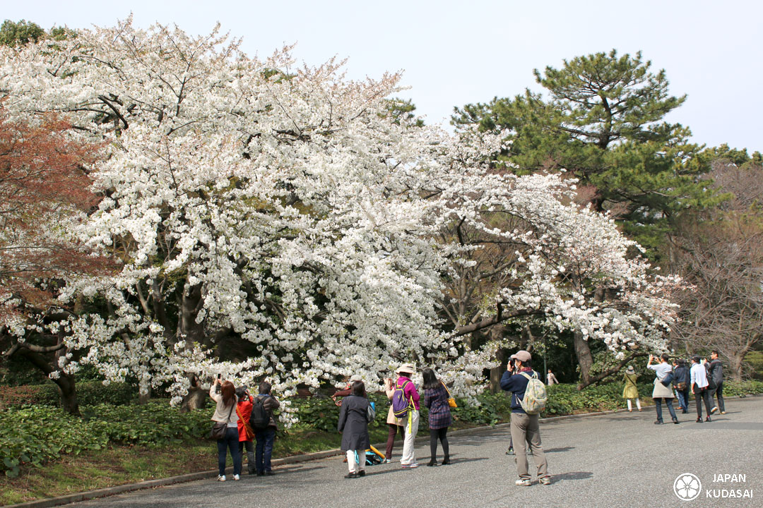 Sakura jardin imperial tokyo 01 japan kudasai for Jardin imperial