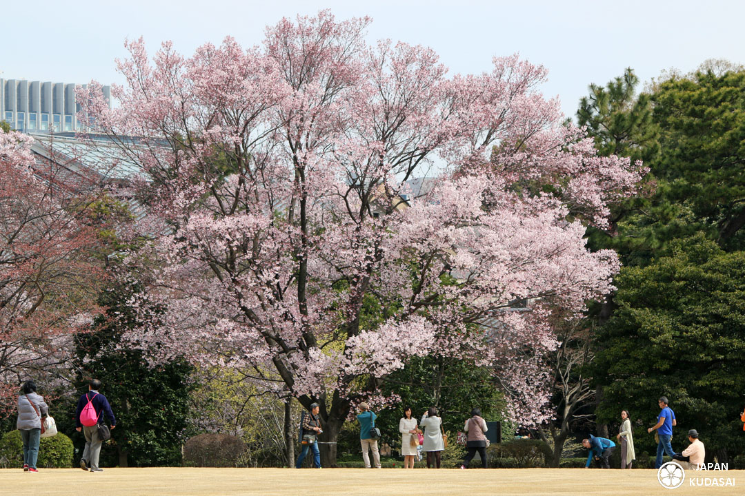 Sakura jardin imperial tokyo 04 japan kudasai for Jardin imperial